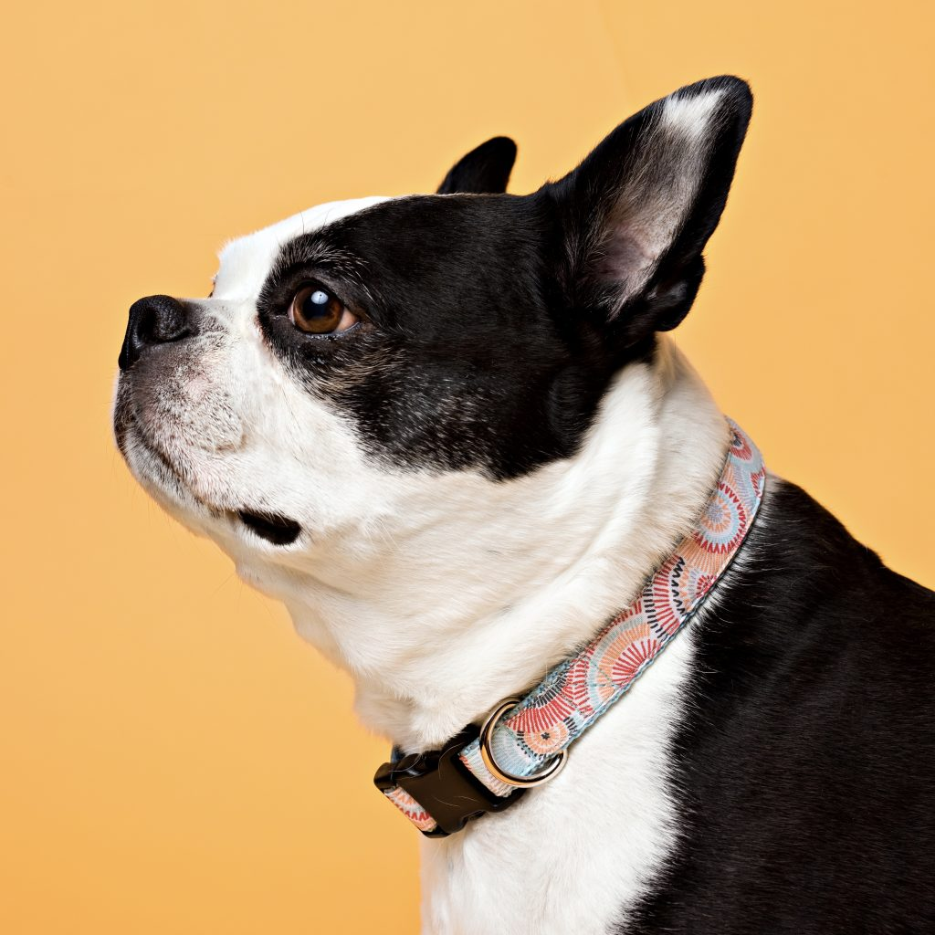 Persimmon Peak: Bella wearing a sunburst classic dog collar, Photography by Kim Smith
